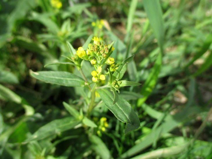Трава желтушник: лечебные свойства, применение, польза для сердца. желтушник: применение, свойства, противопоказания, рецепты