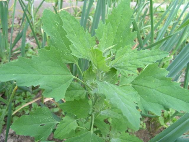 Сорняк или лекарственное растение— лебеда, ееполезные свойства ипротивопоказания