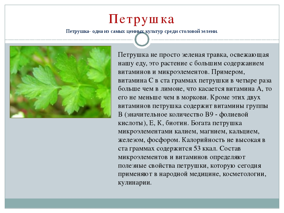 Душистый и полезный — зеленый укроп, поговорим о его лечебных свойствах и противопоказаниях