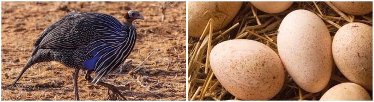 Яйца цесарки: полезный свойства и вред