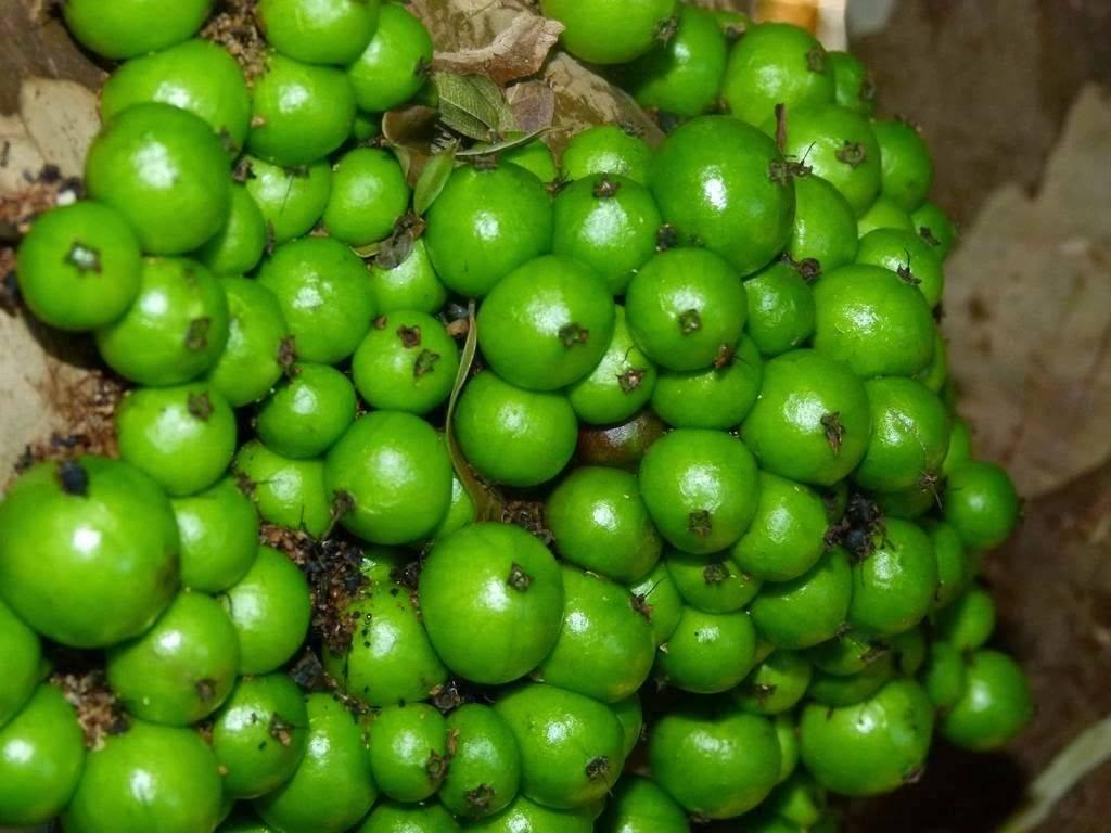 Описание ягод виноградного дерева джаботикаба с фото, использование в кулинарии и польза