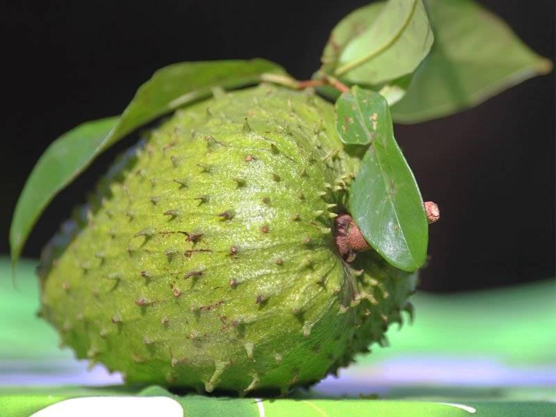 Выращивание гуанабаны в домашних условиях