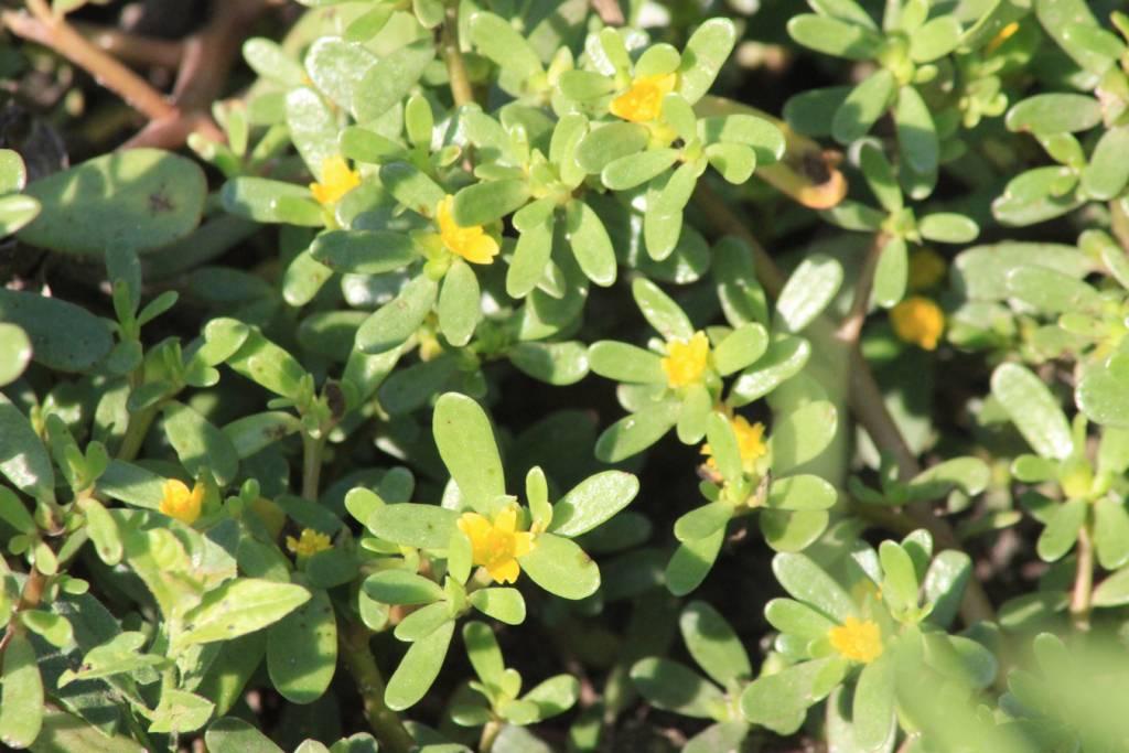 Полезные свойства и противопоказания растения портулак