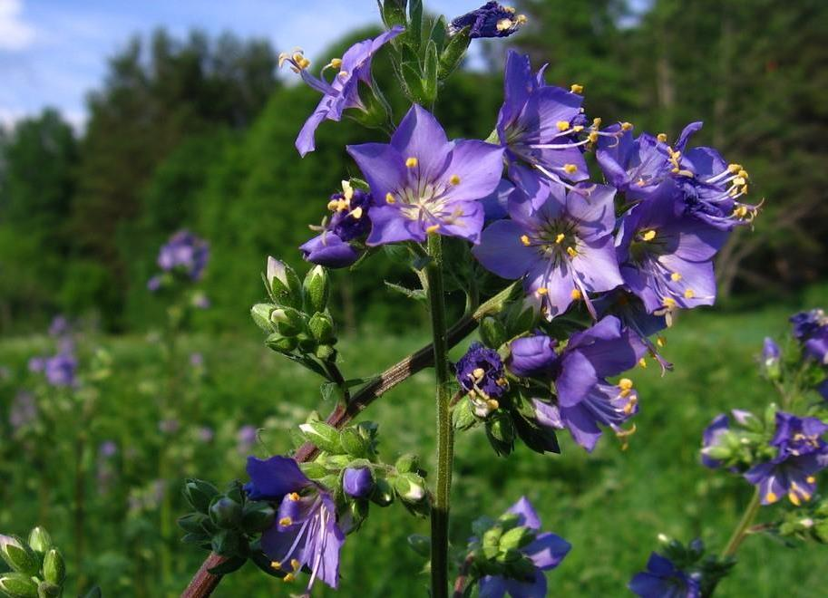 Трава синюха голубая — лечебные свойства и противопоказания