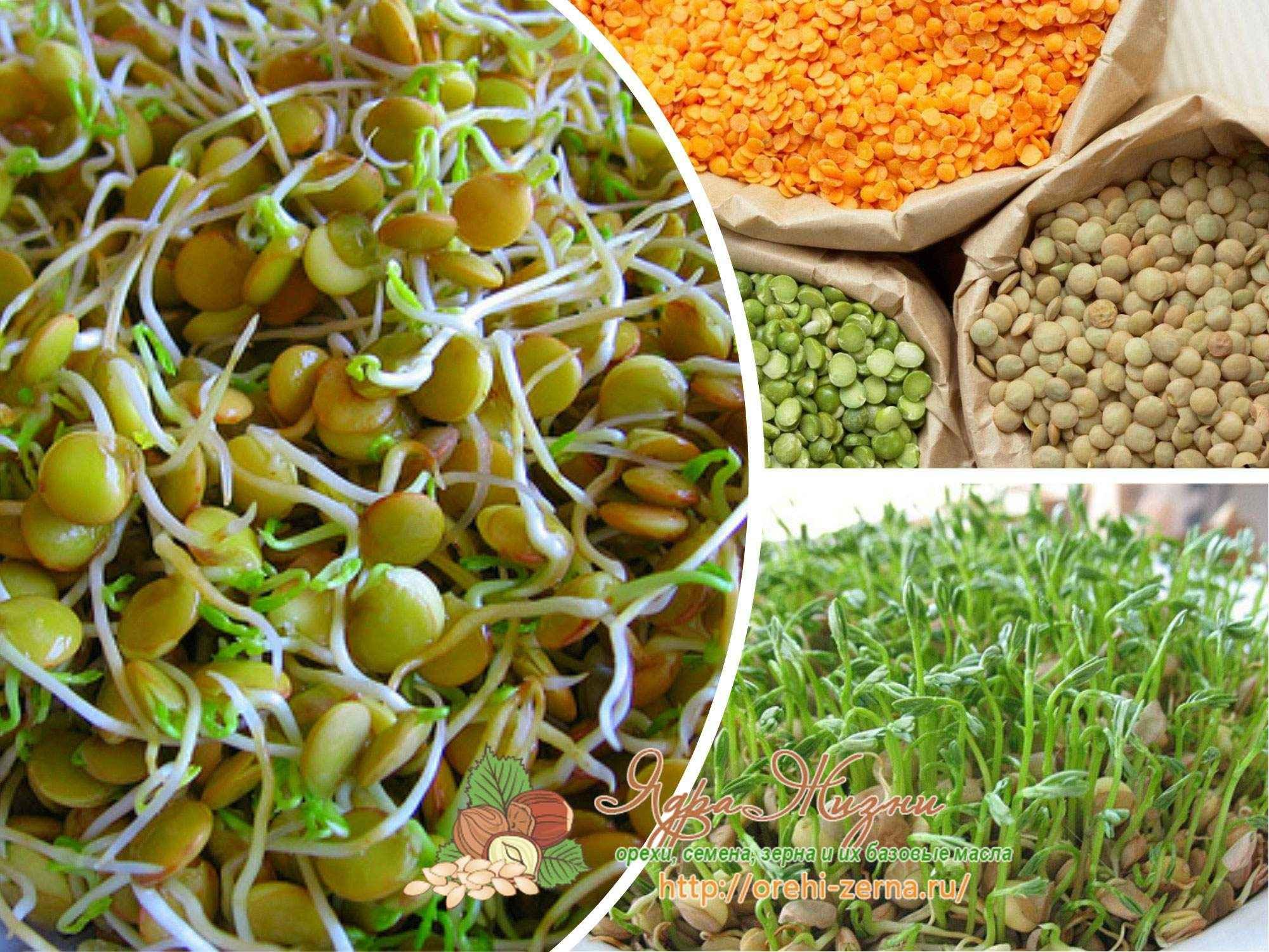 Проросшая пшеница: польза и вред, как принимать