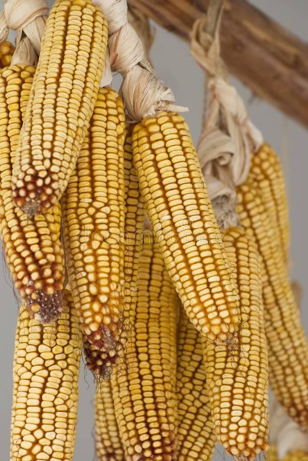Кукуруза: как сушить в домашних условиях и как ее потом варить?