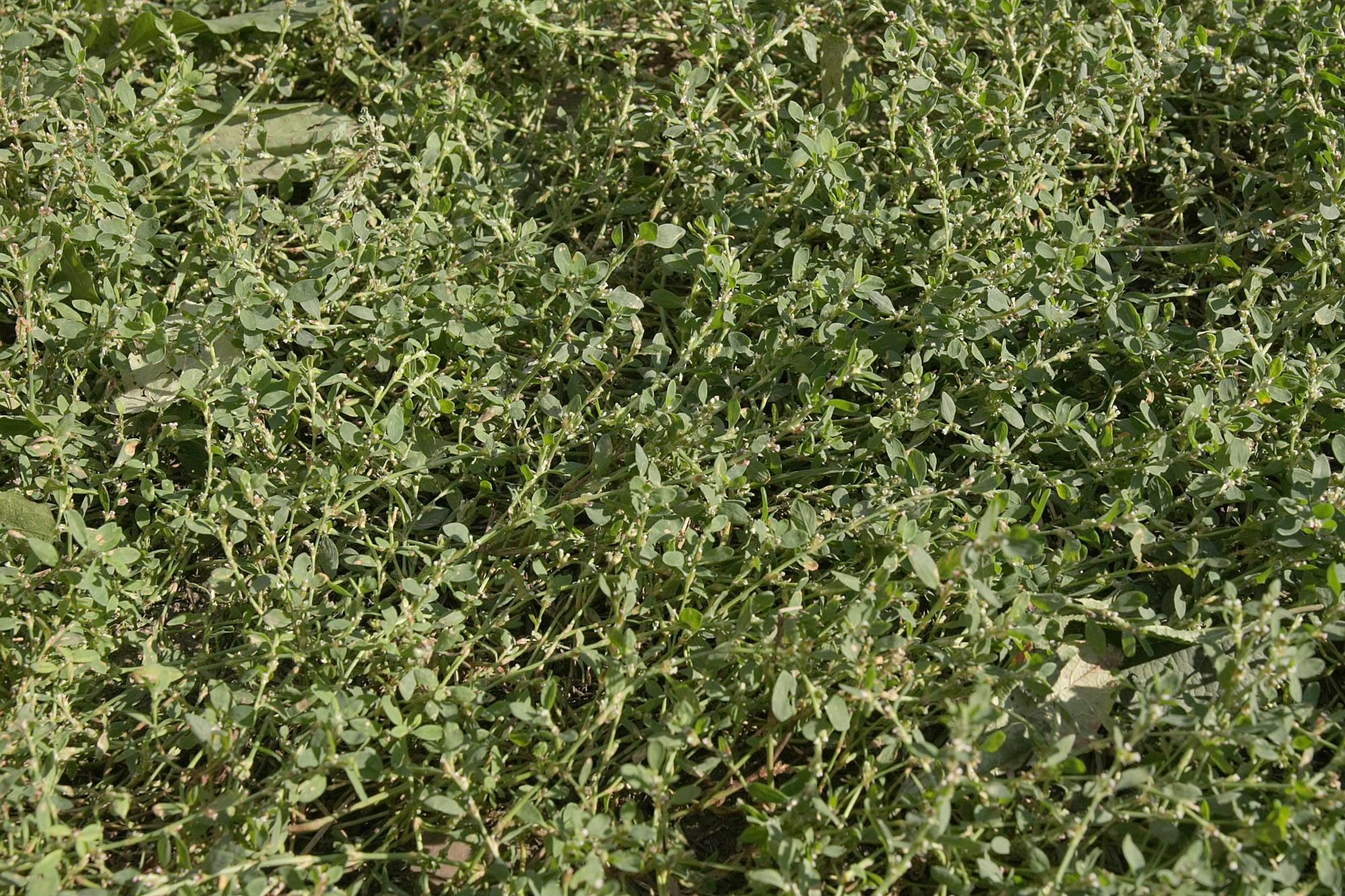 Применение травы спорыш: мнение народной и научной медицины (горец птичий)