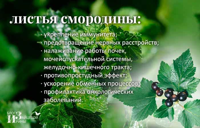 Лечебные свойства листьев черной смородины и противопоказания к их употреблению