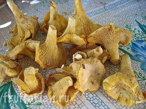 Почему лисички не бывают червивыми. можно ли есть грибы, от которых бегут червяки