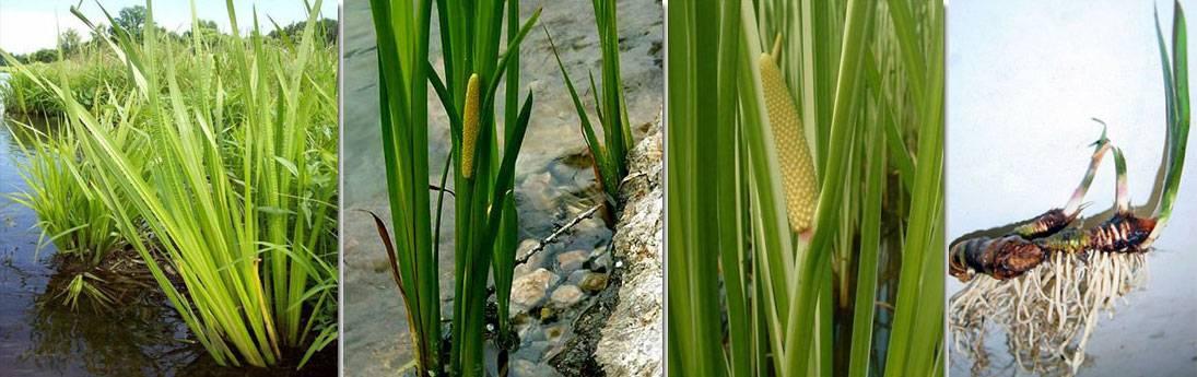 Аир болотный – лечебные свойства и противопоказания. народные рецепты из корня