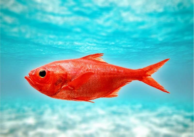 Окунь морской. польза и вред для организма, калорийность на 100 грамм