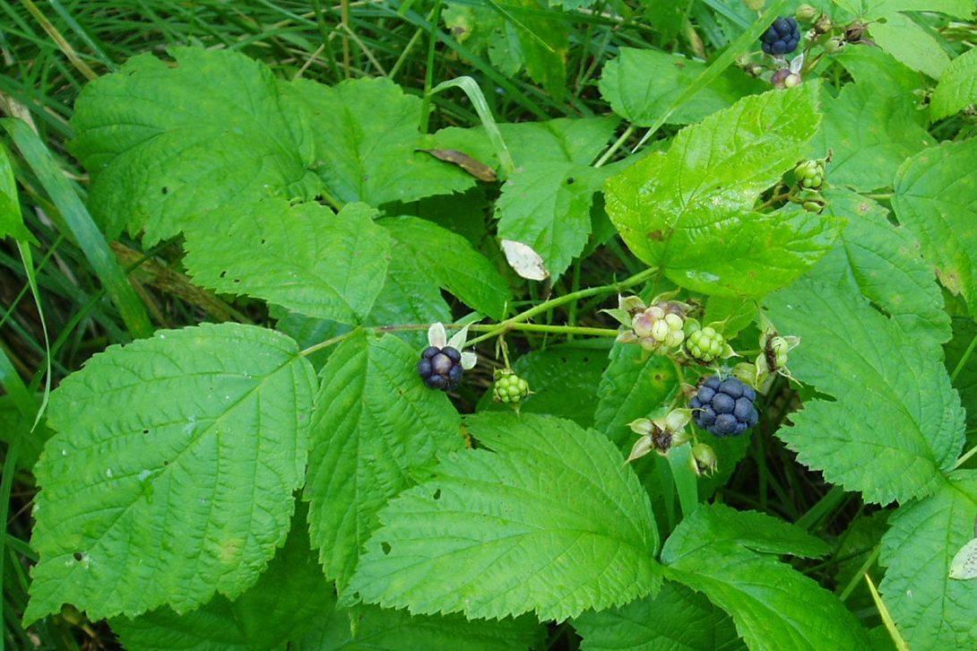 Полезные свойства и вред от употребления листьев ежевики