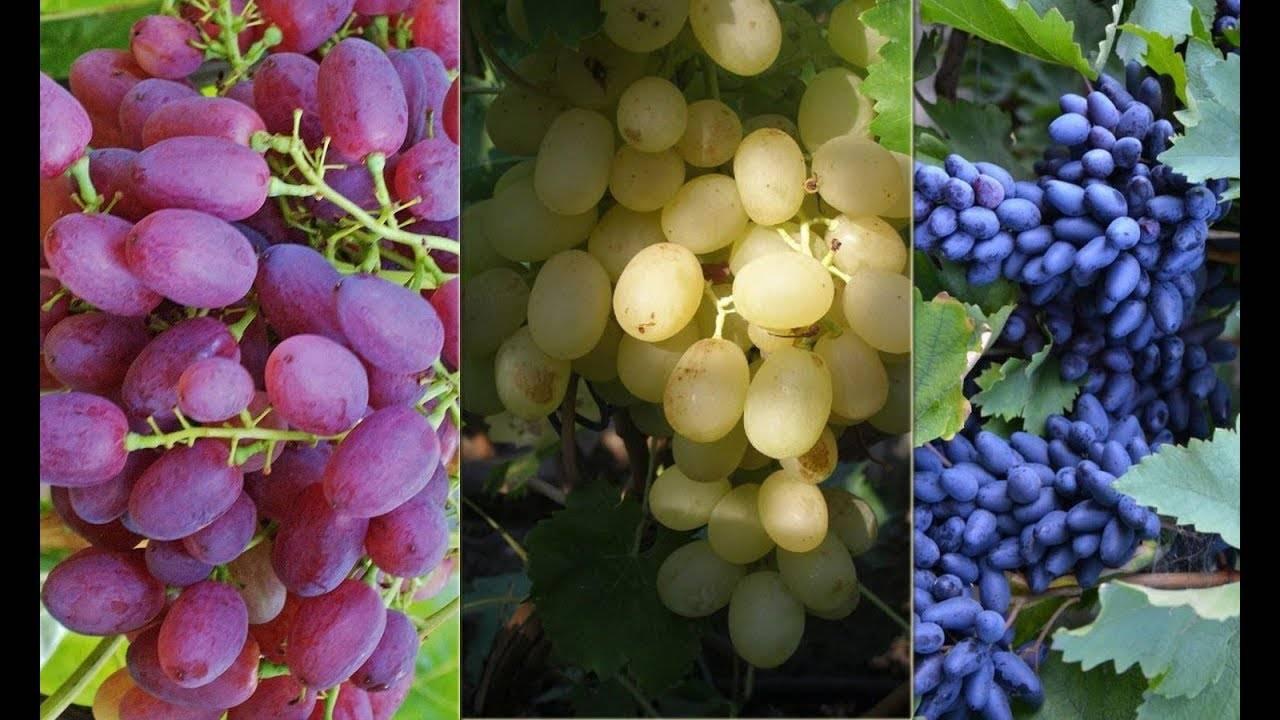 Чем полезен виноград для организма, свойства и противопоказания