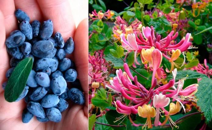 Жимолость - польза и вред ягод, листьев и коры дерева для организма