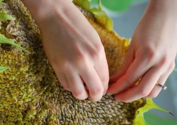 Полезны ли семечки подсолнуха или от них больше вреда организму