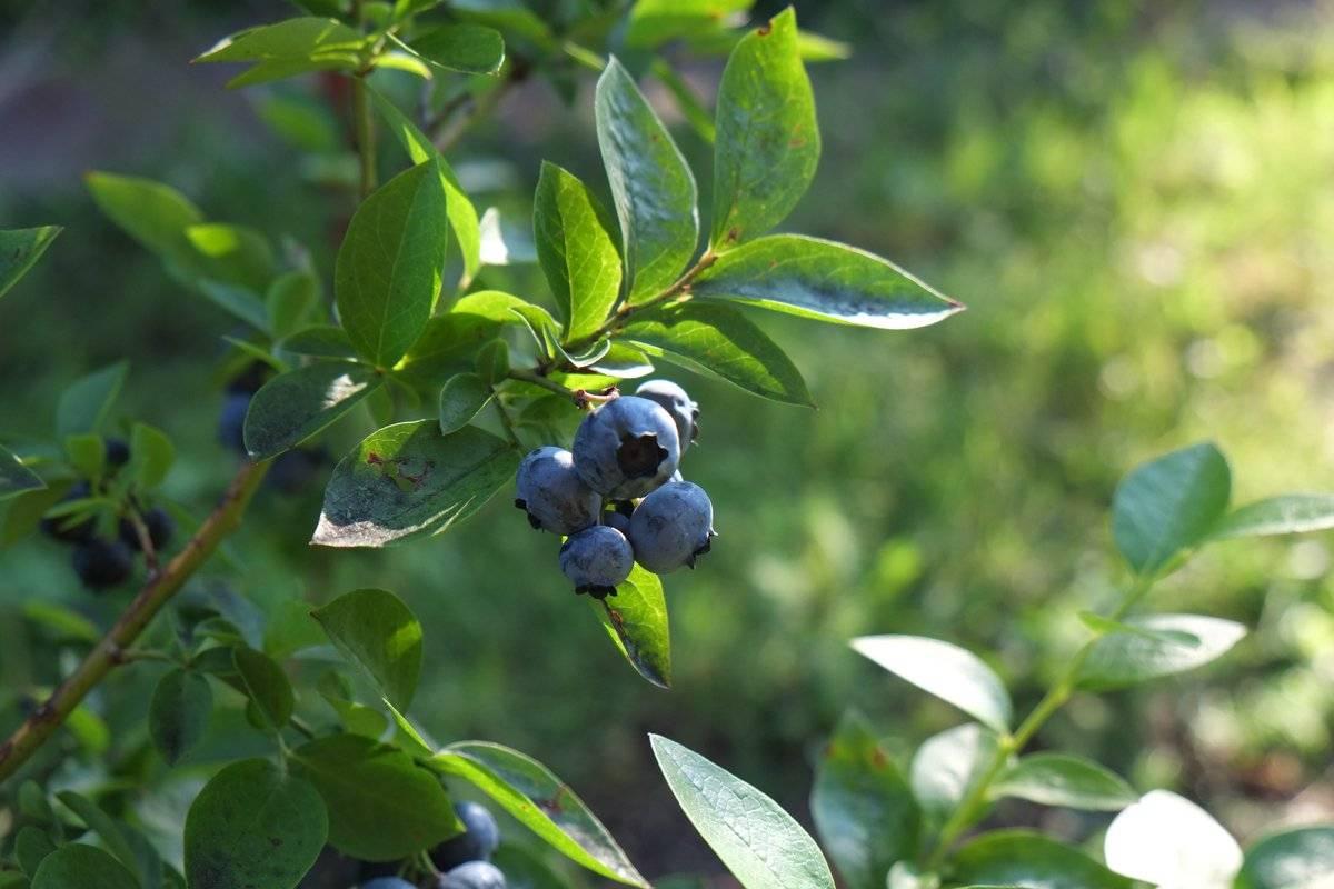 Голубика садовая — польза и вред ягод для здоровья, что содержится, какие витамины в голубике свежей