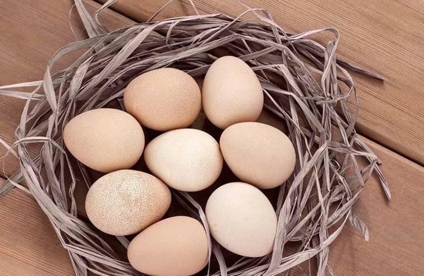 Снесла индюшка яичко: польза и вред индюшиных яиц