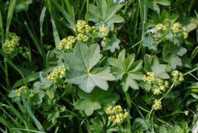 Трава манжетка: лечебные свойства, применение в народной медицине