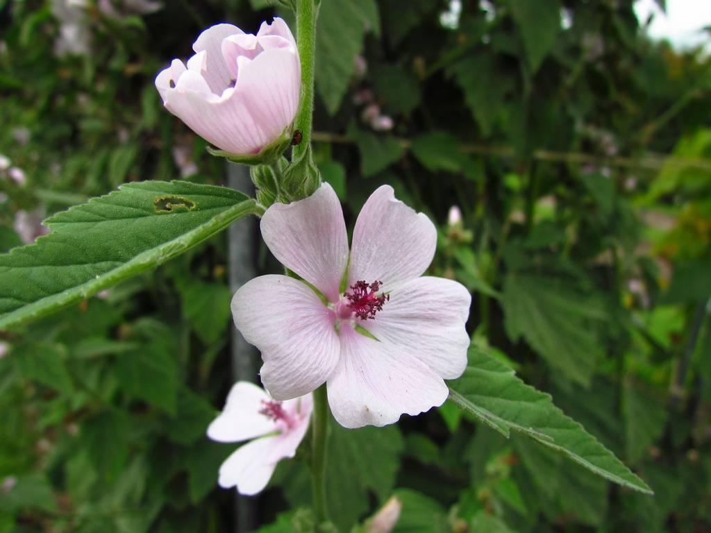 Алтей лекарственный применение алтей корень лечебные свойства