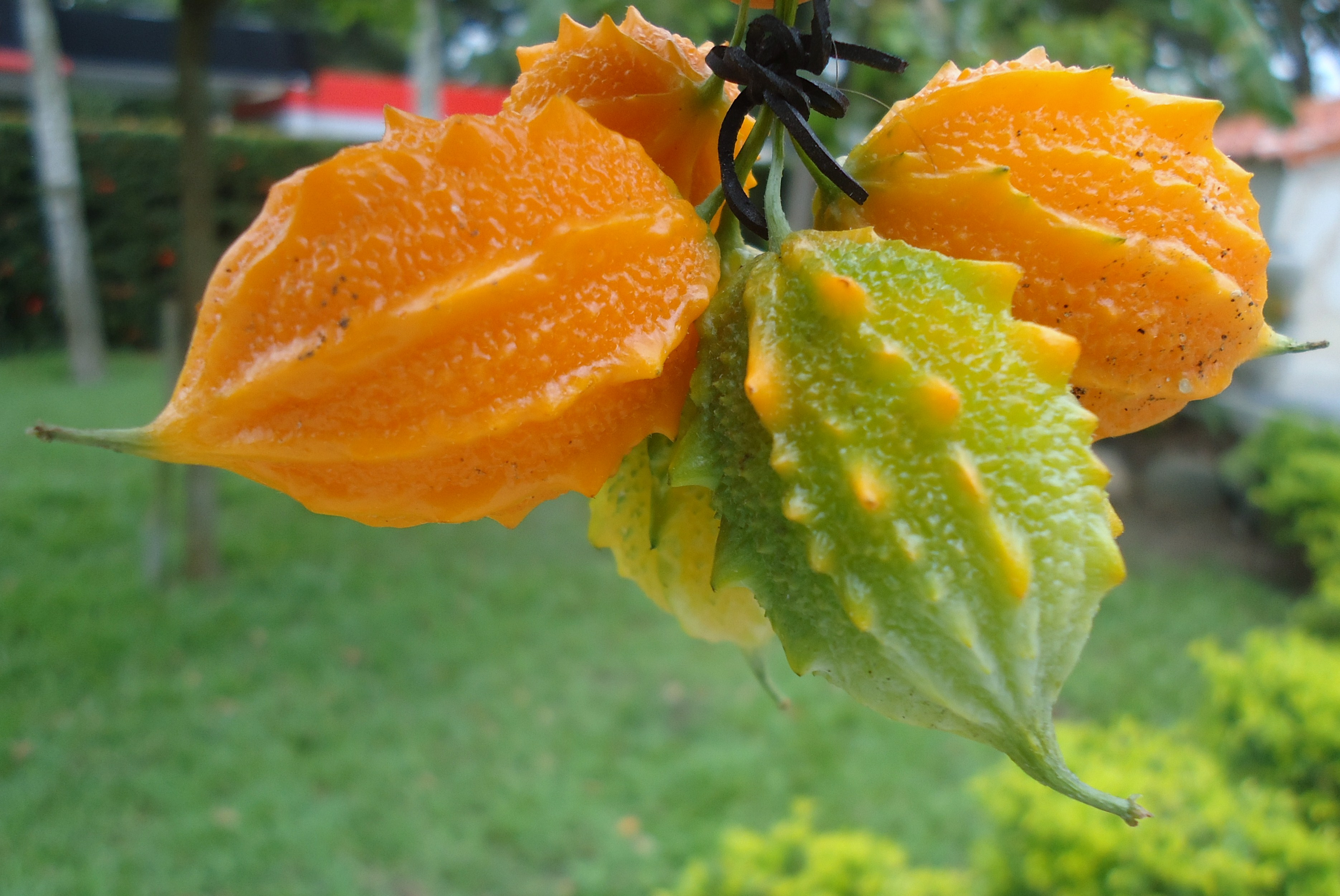 Момордика — полезные свойства и противопоказания бешеной дыни
