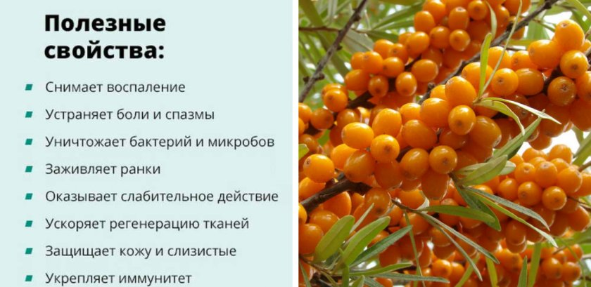 Польза и вред облепихи для здоровья. лечебные свойства ягод