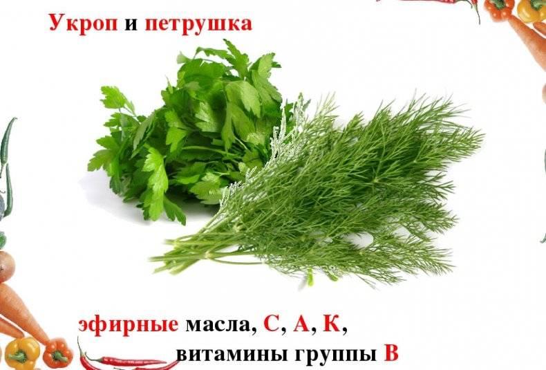 Укроп – полезные свойства и противопоказания для организма