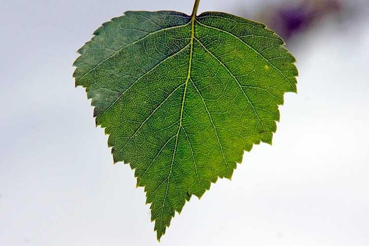 Отвар листьев березы