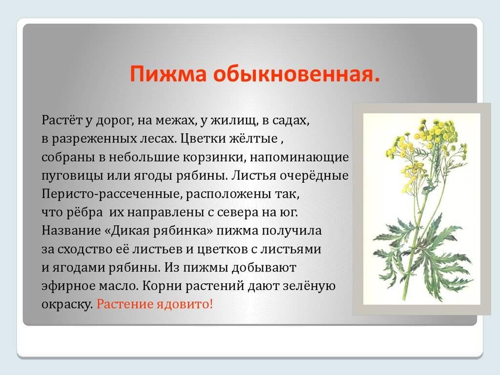 Пижма: лечебные свойства и противопоказания — применение в гинекологии, от паразитов