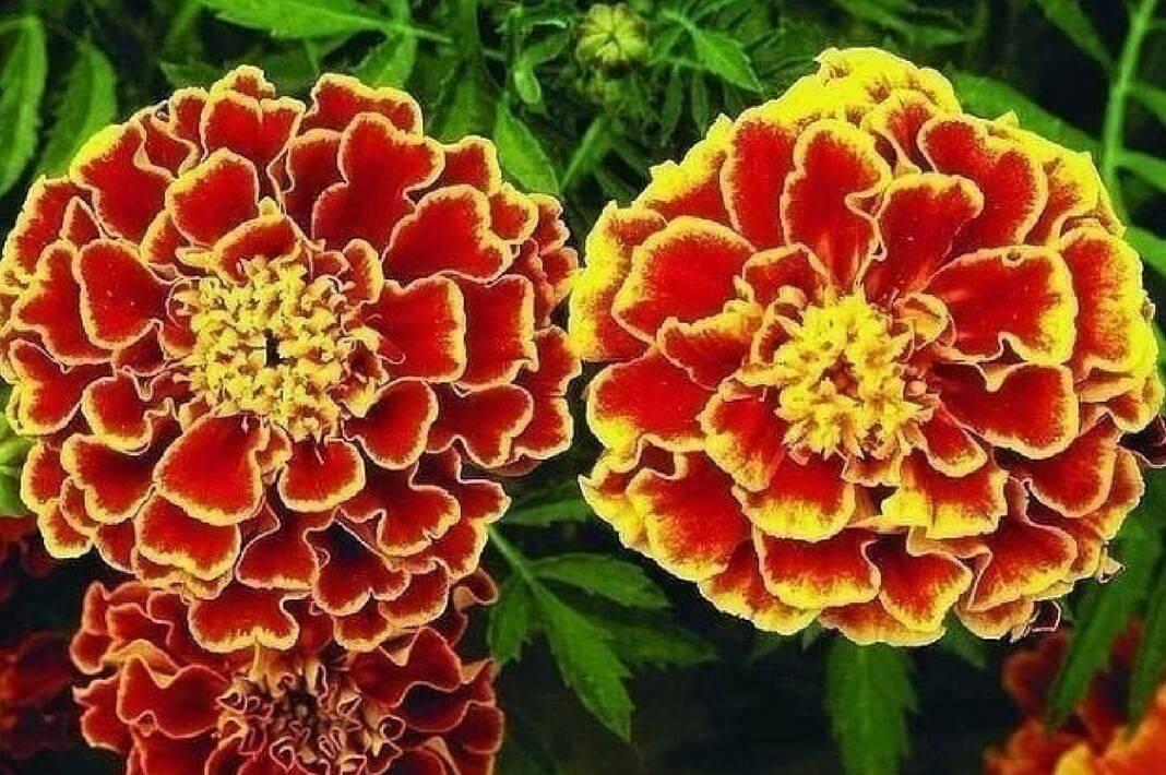 Чем полезны цветы бархатцы для здоровья