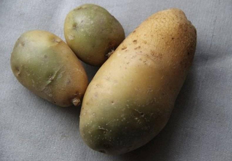 Можно ли есть позеленевшую картошку от света, чем она вредна? что делать, если картофель позеленел?