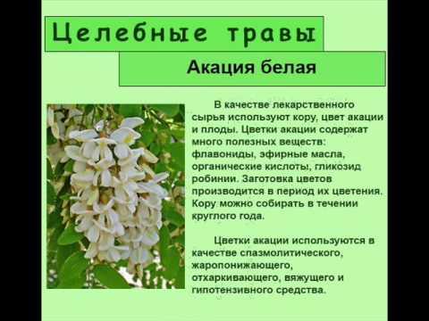 Лечебные свойства цветов акации и противопоказания