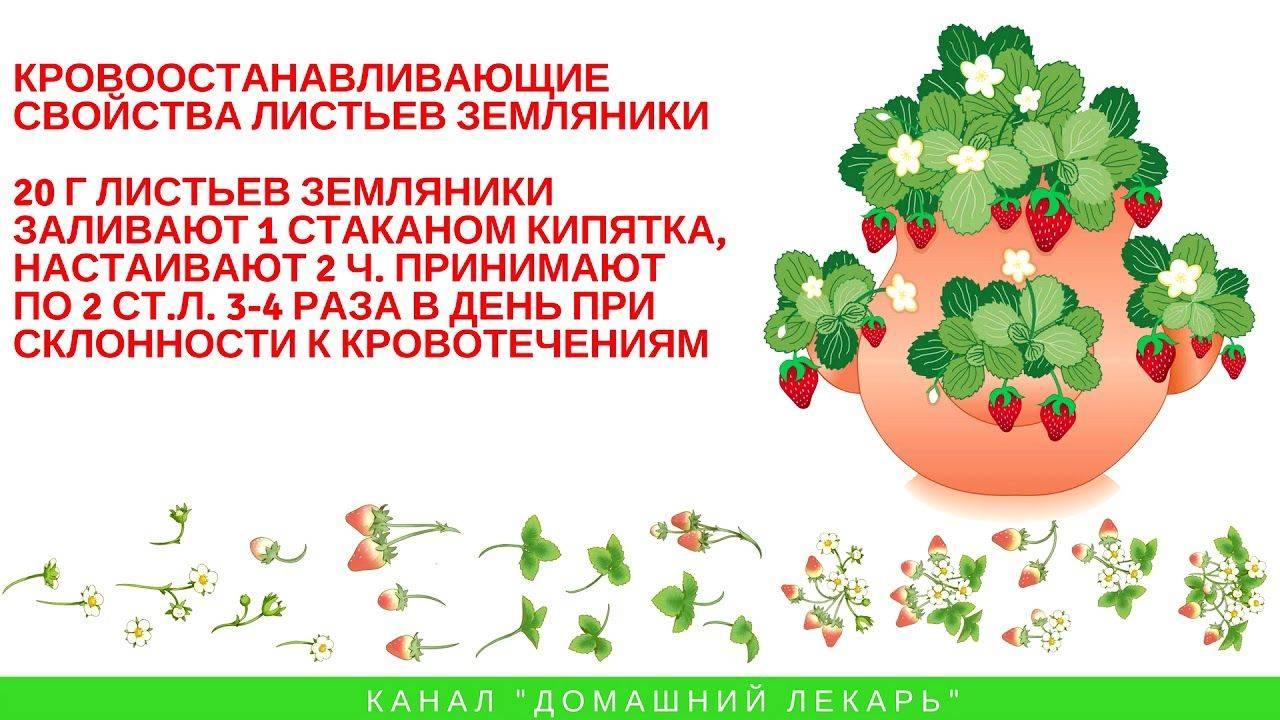 Листья земляники: сбор, заготовка, применение, рецепты, лечебные свойства и противопоказания