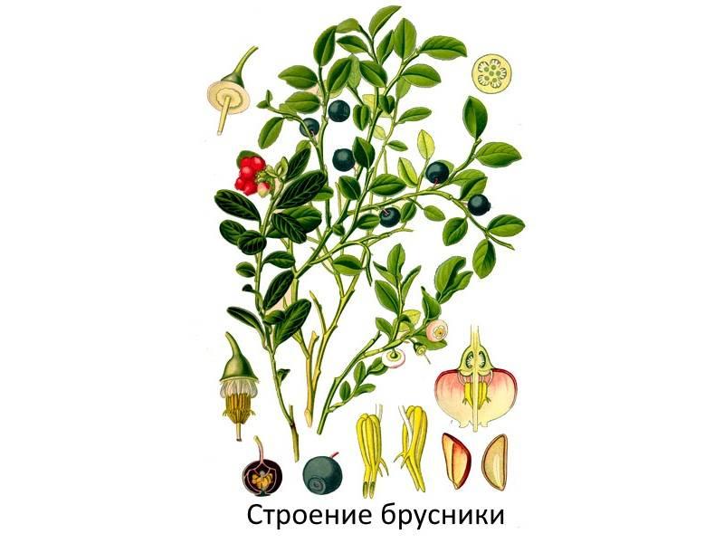 Какие лечебные свойства ягод брусники обуславливают её противопоказания её?