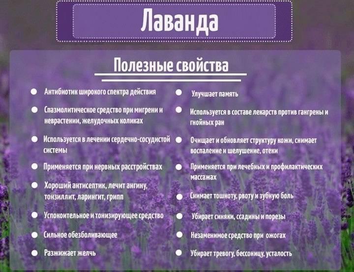 Лаванда: полезные и лечебные свойства, противопоказания
