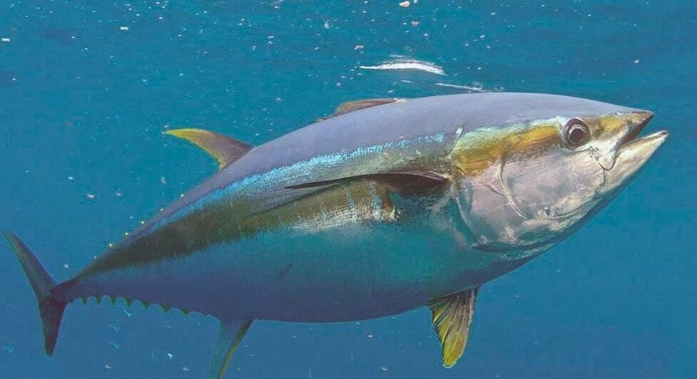 7 полезных свойств тунца для здоровья (с опорой на науку)