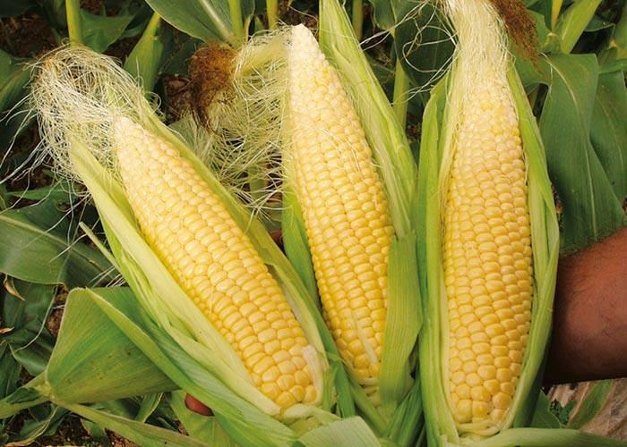 Золотые зерна для вашего здоровья – польза и вред кукурузы