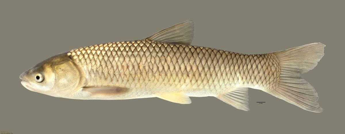 Приготовление белого амура: полезные свойства рыбы