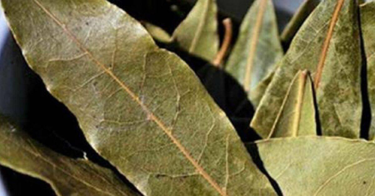 Описание и свойства лаврового листа: колоссальная целительная сила и вред, применение