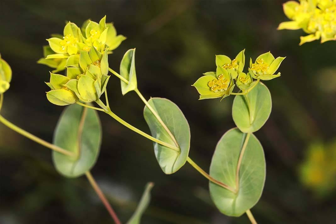 Трава володушка: лечебные свойства, противопоказания, применение