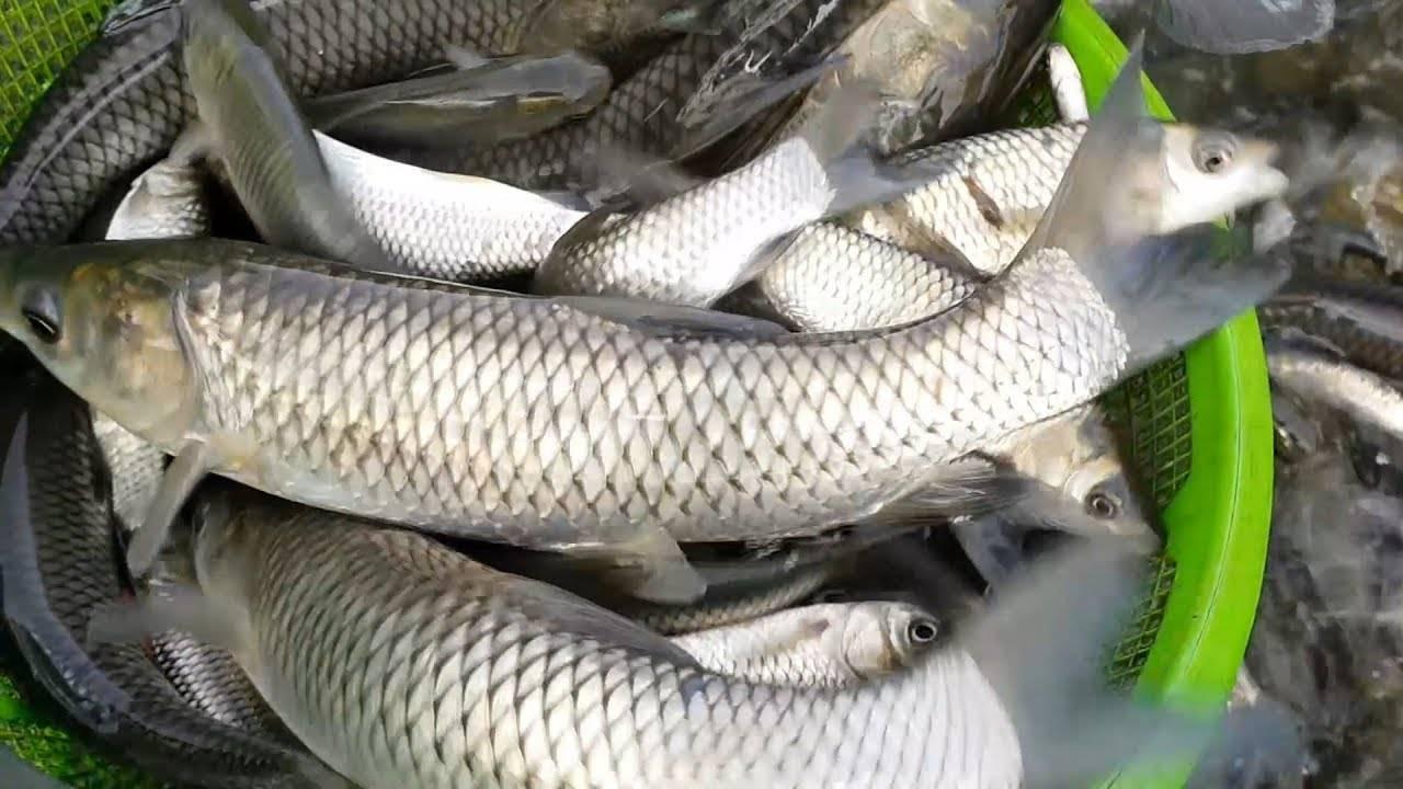 Белый амур — польза и вред. рецепты приготовления — как пожарить на сковороде и запечь в духовке. костлявый или нет — вкусовые качества рыбы