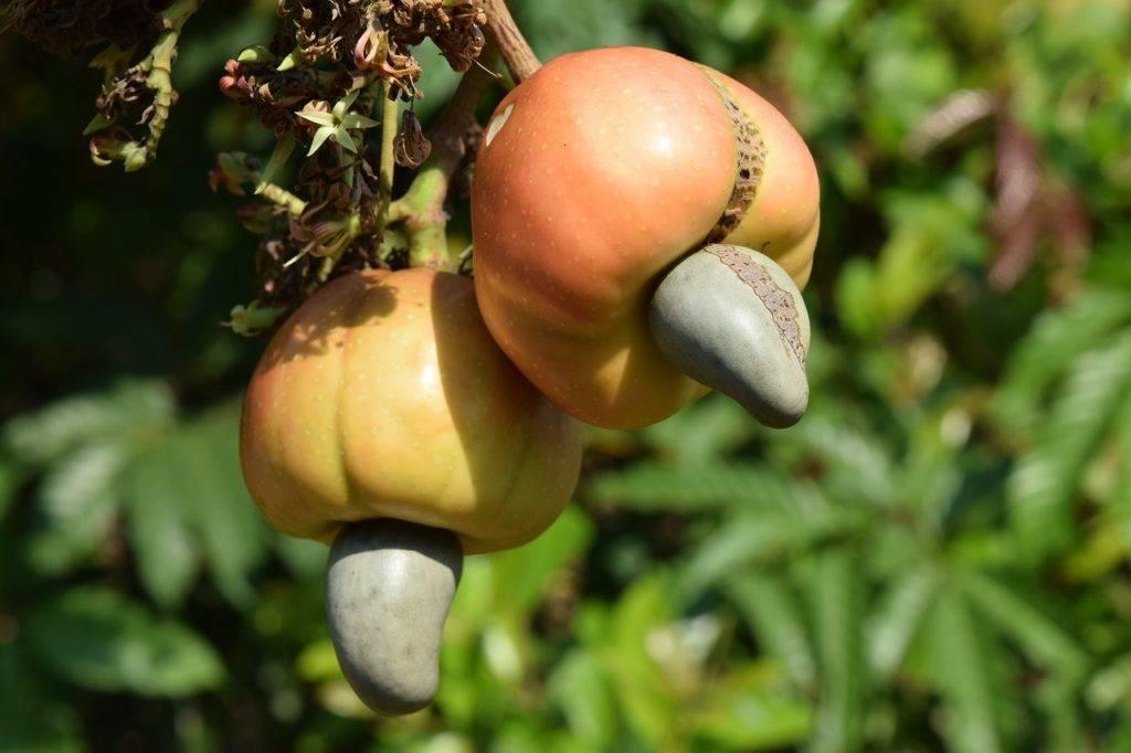 Орехи кешью: польза и вред для здоровья человека, полезные свойства и противопоказания