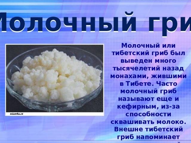 Тибетский молочный гриб — польза и вред для организма