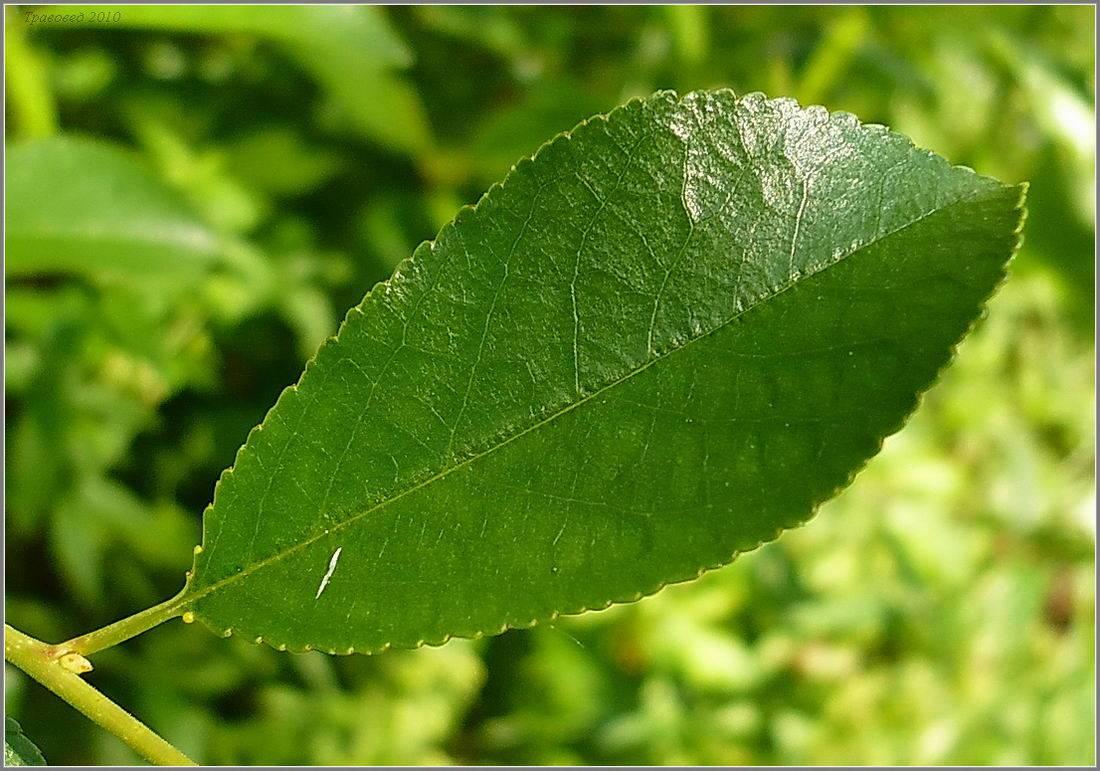 Полезные свойства вишни для человеческого организма