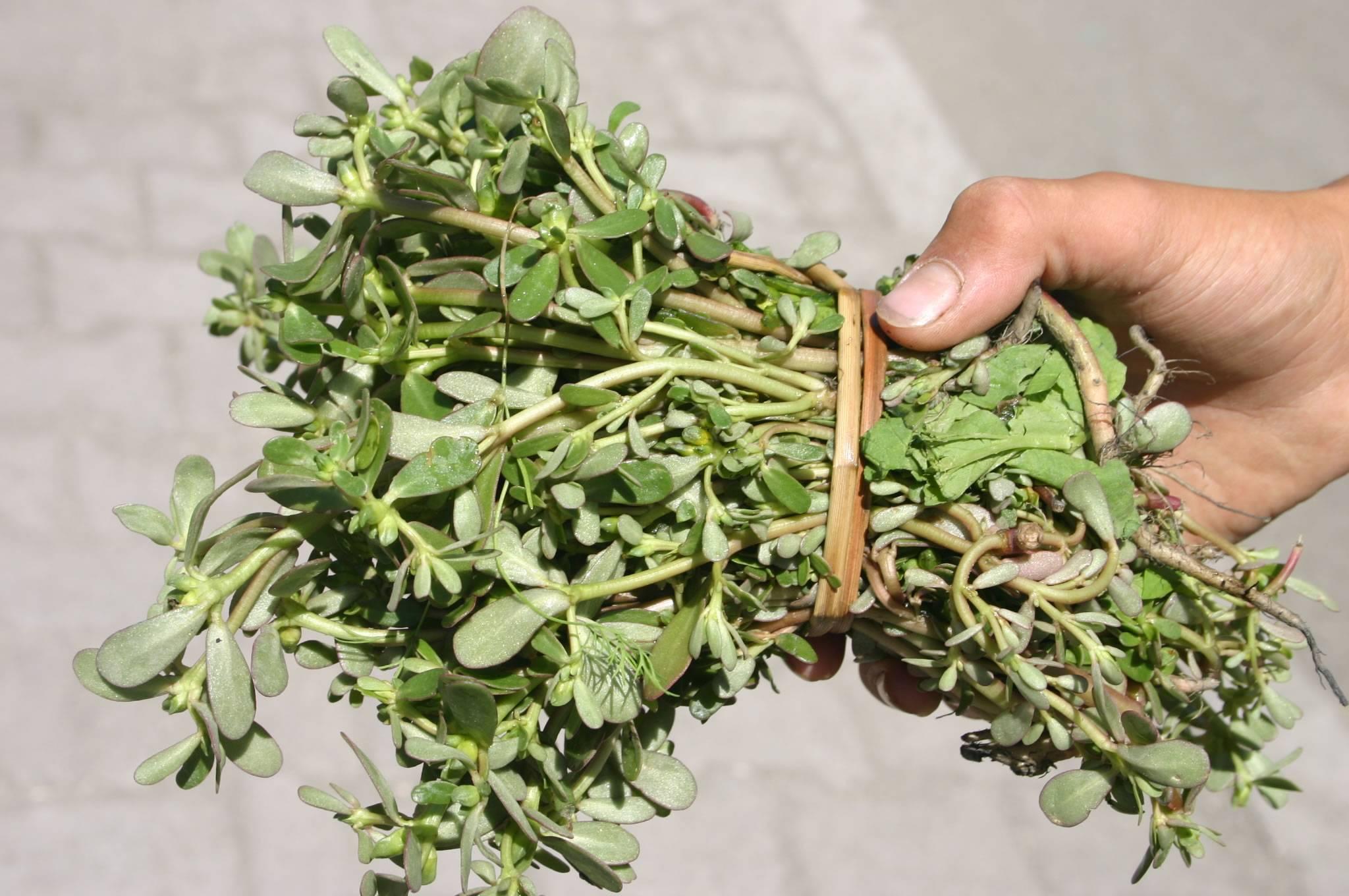 Лечебные свойства растения портулак