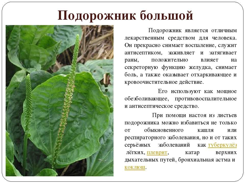 Трава подорожник. подорожник: лечебные свойства