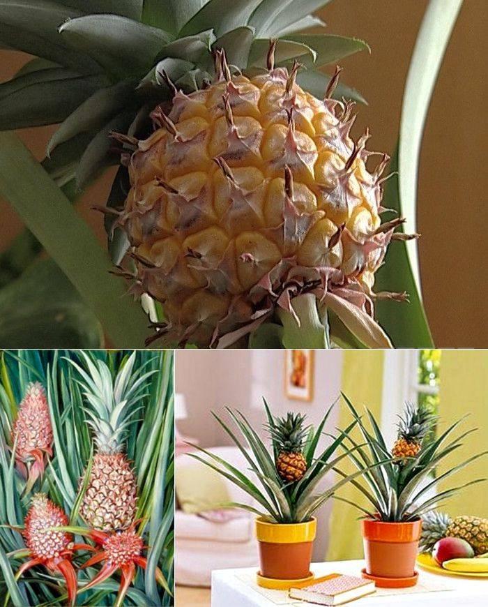 Вы купили ананас: как не дать ему испортиться