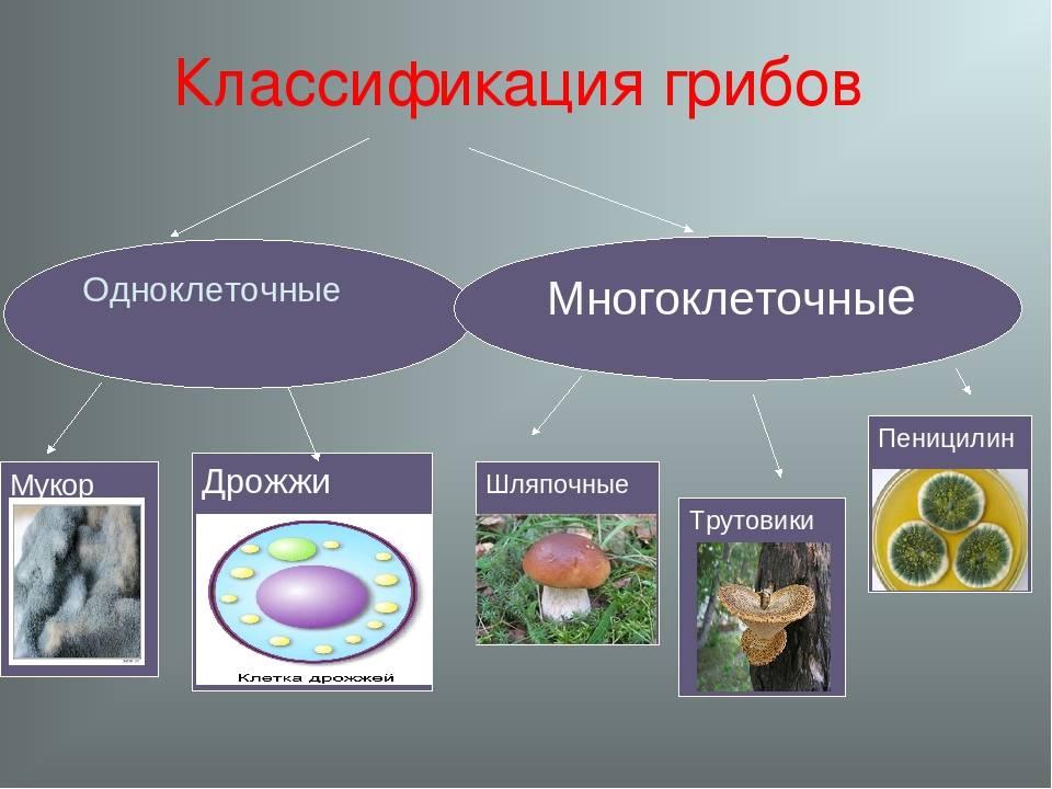 Тибетский молочный гриб: как он выглядит и влияет на организм человека