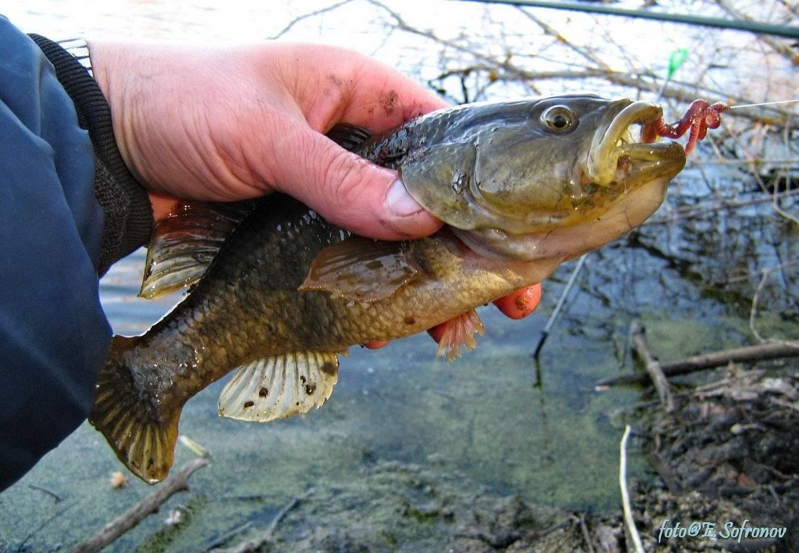 Рыба ротан (реrссоttus glеnii)