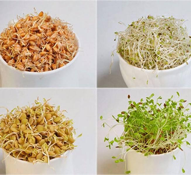 Пророщенная пшеница: польза и вред, советы врачей, блюда