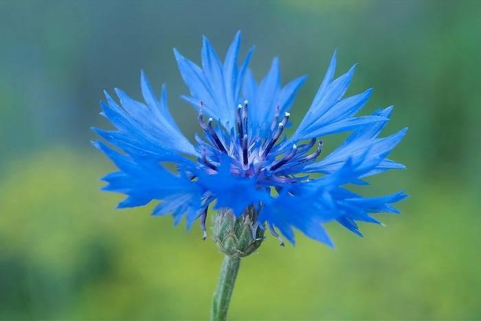 Василек синий — полезные свойства, описание
